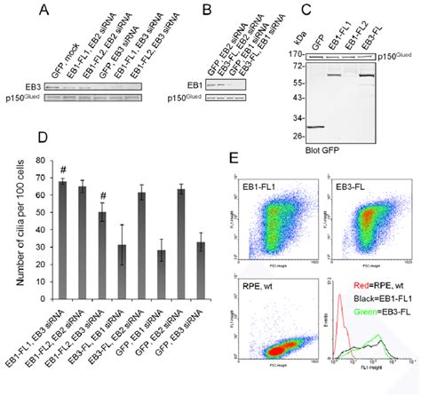 Expression of GFP-EB1-FL prevents inhibition of cilia