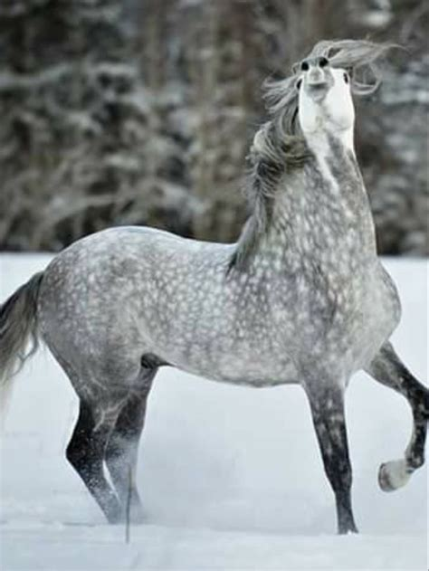 Beautiful Dapple grey horse with hus nose thrown up