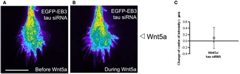 The microtubule associated protein tau is required for